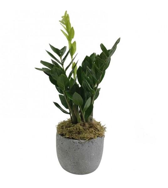 Zamioculcas φυτεμένη σε τσιμεντένιο μοντέρνο κασπώ